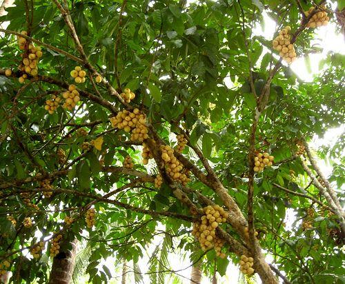 Erasmusa Tablea Y Lanzones Grow Banana Tree Fruit Trees Backyard How To Grow Bananas