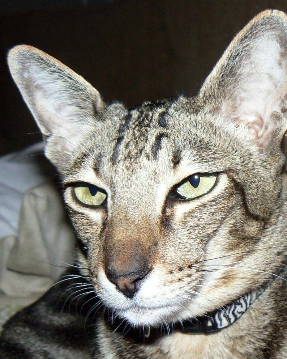 Oriental Cat Cute Cats Oriental Cat Oriental Shorthair Cats