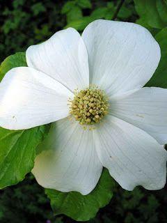 dogwood national flower of of british columbia flower luv