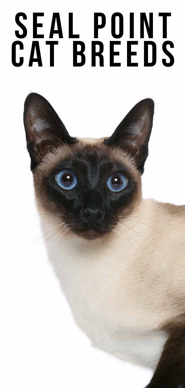 Seal Point Cat Breeds – The Amazing Markings and Shades #catbreeds