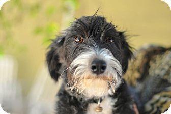 Border Collie Schnauzer Mix Dogs Dog Love Schnauzer Puppy