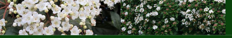 Viburnum - Sneeuwbal | Haagplanten4you  Mooie groenblijvende struik die ook zeer goed als haagplant kan fungeren. Bloeit in de winterperiode. Wel wat beschut wegzetten voor de koude wind. en met strenge vorst afdekken. Maar gemiddeld genomen zeer goed geschikt in het nederlands klimaat