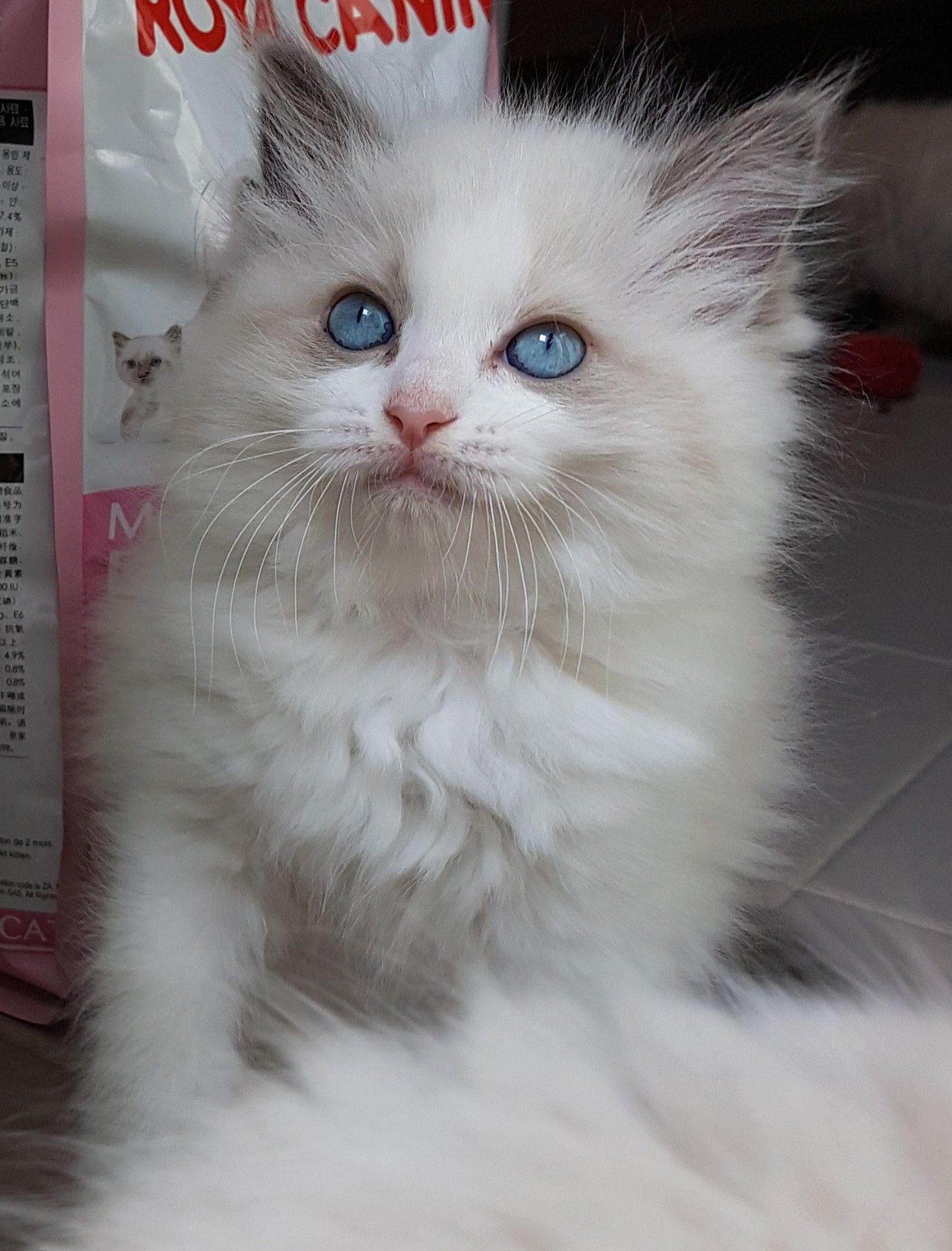 Blue Bi Colour Ragdoll Kitten Cute Cats And Kittens Pretty Cats Cats And Kittens