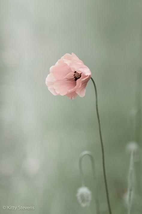 Pastellfarbene Mohnblume Mohnblume Rosafarbene Bluten Rosa Mohnblumen