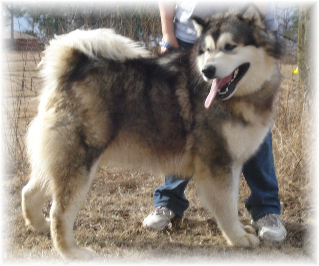 Breeder Of Giant And Standard Alaskan Malamutes In Texas We Carry