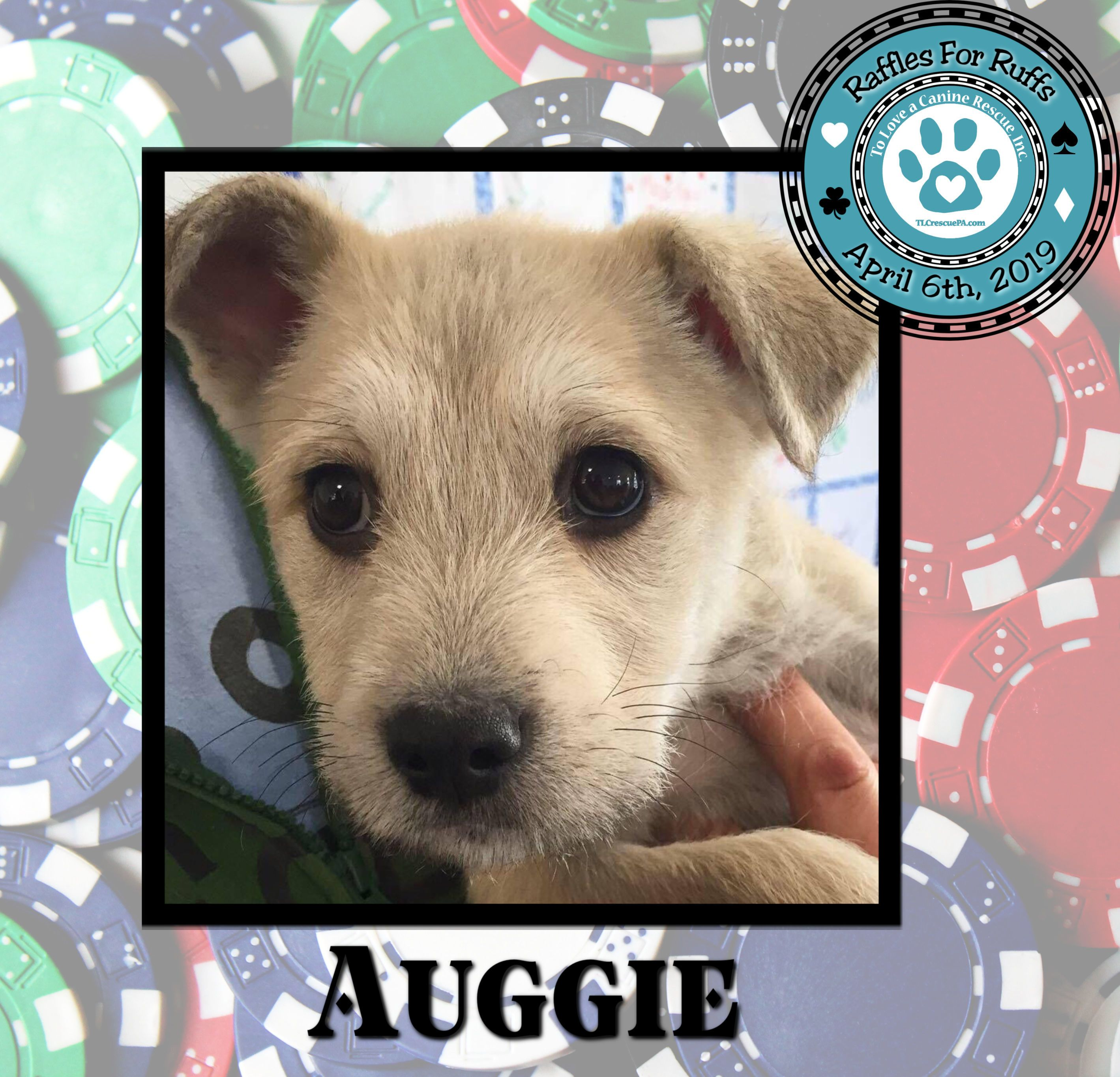 Adopt Auggie On Dog Friends Terrier Mix Dogs Pet Adoption