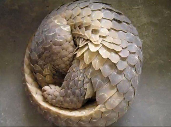 Curled up pangolan. Fibonacci and armour - very safe.