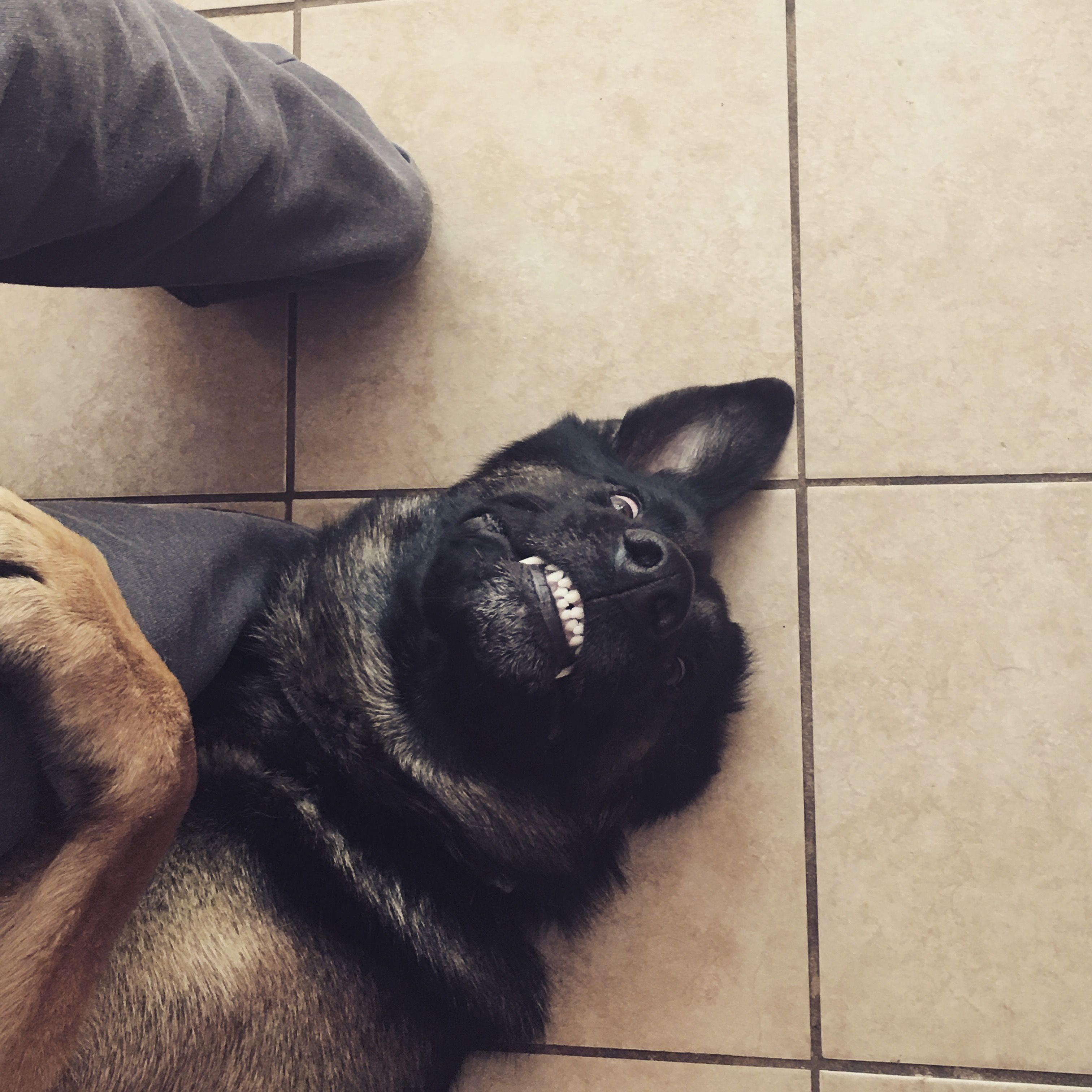 Atlas The German Shepherd Waiting For Food To Fall From