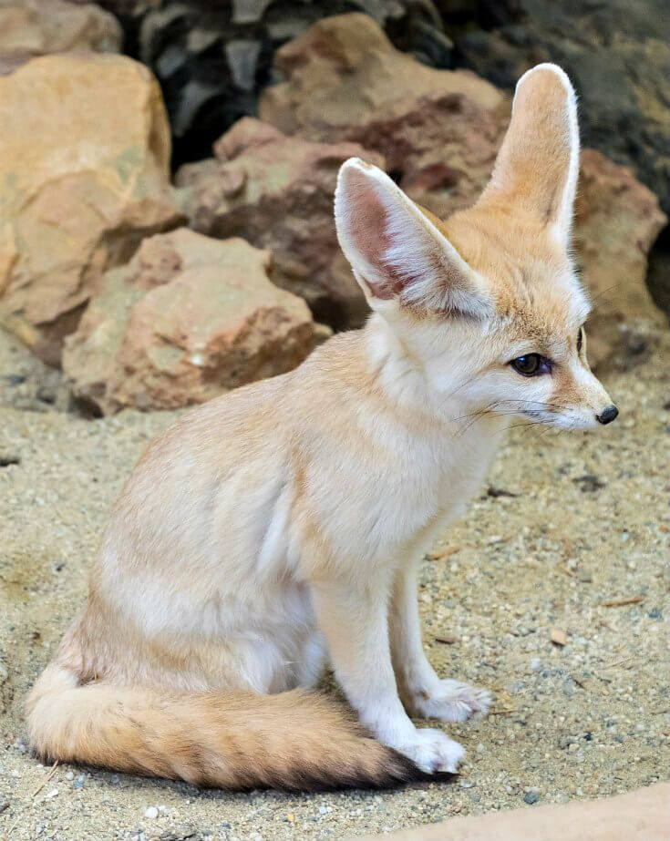 The 25 Biggest Deserts in the World Fennec fox, Cute