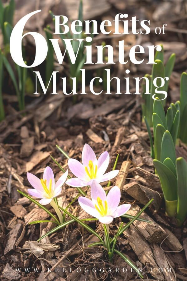 Fall and winter mulching can help control weeds and pests as well as help regulate soil temperatures and moisture. Straw is a great type of mulch for the garden, but wood chips or shavings, dried leaves, pine needles or even dried grass clippings make good mulch as well. Mulching your garden in the fall has several benefits which will facilitate your spring gardening and result in a more bountiful harvest the following summer. #fallgarden #mulching