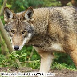 Stop FWS From Walking Away From Red Wolves  There may be as few as 50 red wolves left in the wild  the US Fish  Wildlife Svc FWS is making reckless decisions that could d...