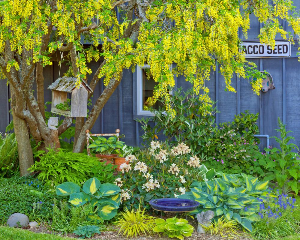 Gemeiner Goldregen Spektakulare Blutenpracht Naturgarten Vorgarten Pflanzen Pflanzen Schatten