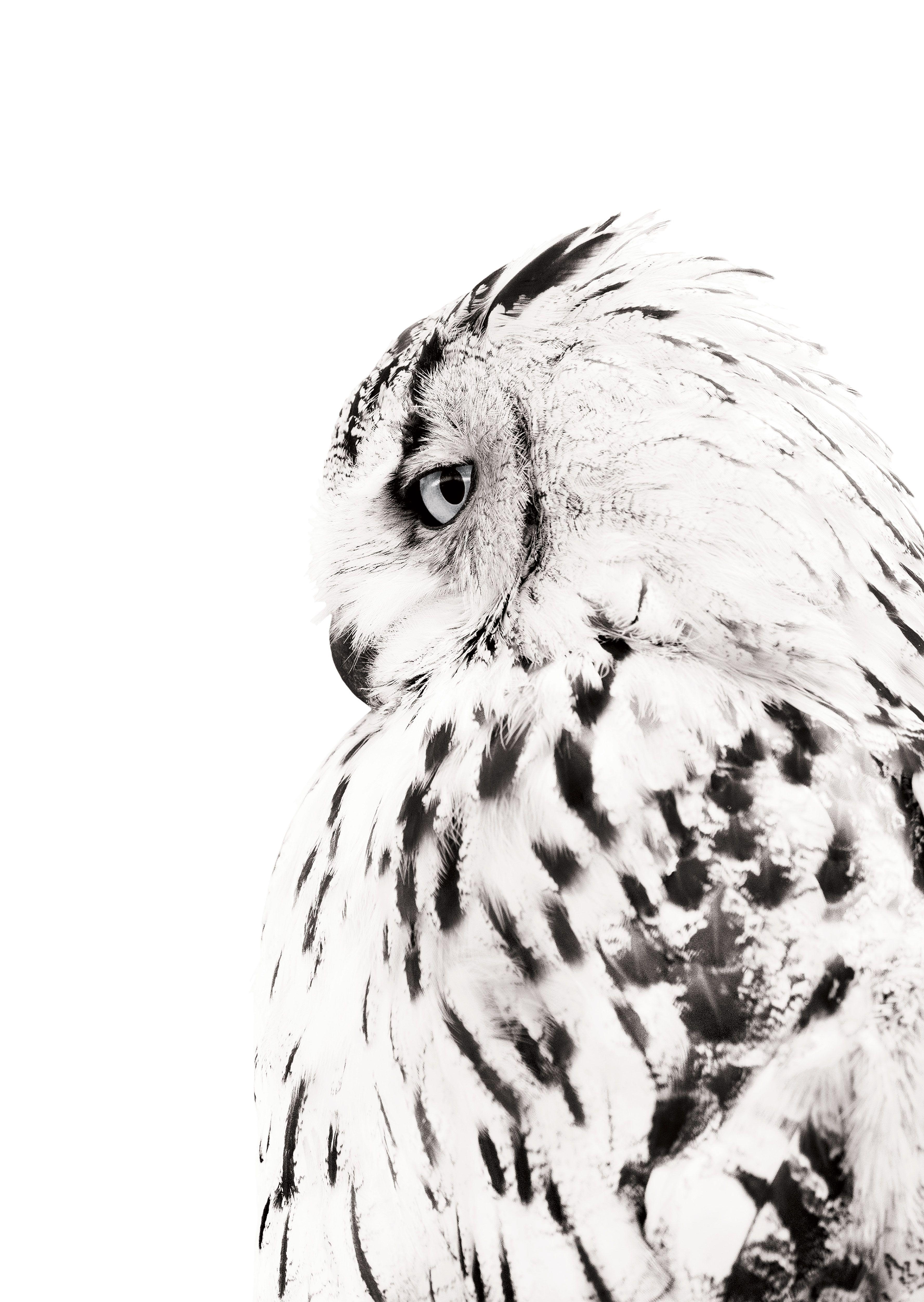 Black and white owl bird poster. Premium animal wall art