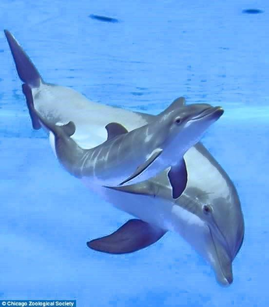 Mother Dolphin Swimming With Her Young Calf Delfin Delfiny