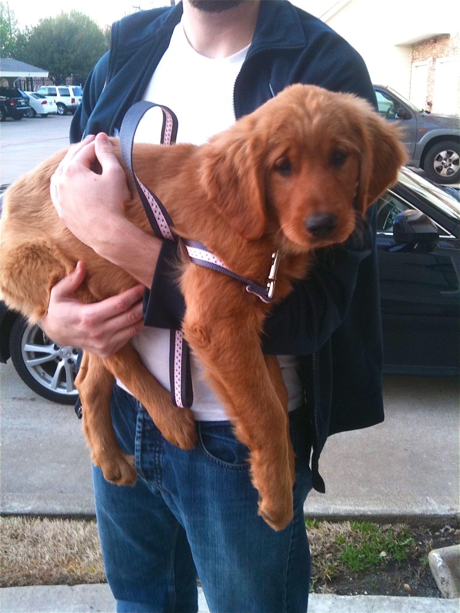 Red Golden Retriever Dream Dog Right Here Will Go Perfect In