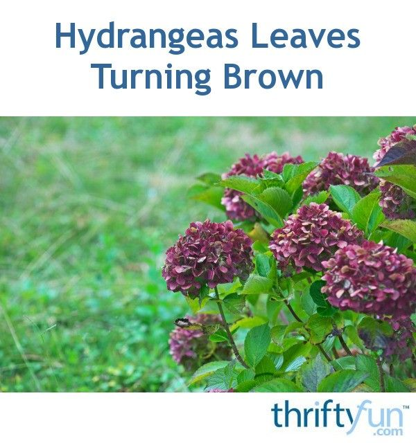 Hydrangeas Leaves Turning Brown Hydrangea Leaves Growing Hydrangeas Hydrangea Potted