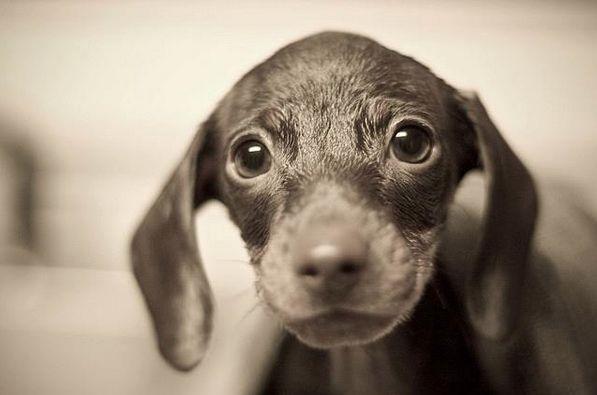 Puppy Dog Eyes Cute Puppy Pictures Puppies Puppy Dog Eyes
