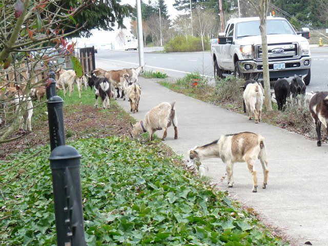 Free-Range Goats Now Available in an Urban Setting