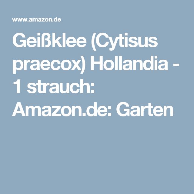 Geißklee (Cytisus praecox) Hollandia - 1 strauch: Amazon.de: Garten