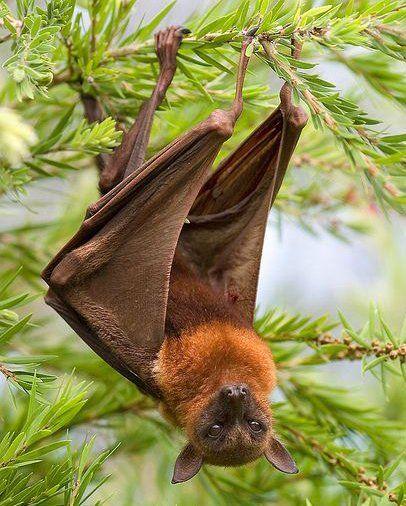 Flying Fox bat hanging around. Australia | Animals ...