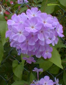 Paghat 39 S Garden Phlox Paniculata 39 Blue Boy 39 Garden