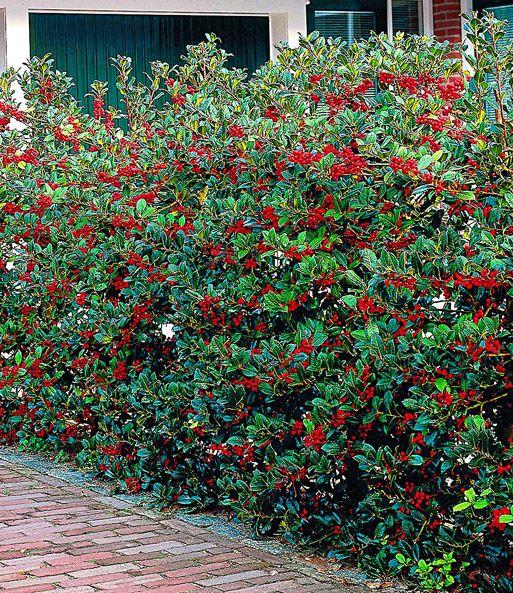 Ilex Hecke Heckenfee Top Qualitat Kaufen Ilex Hecke Hecke Pflanzen