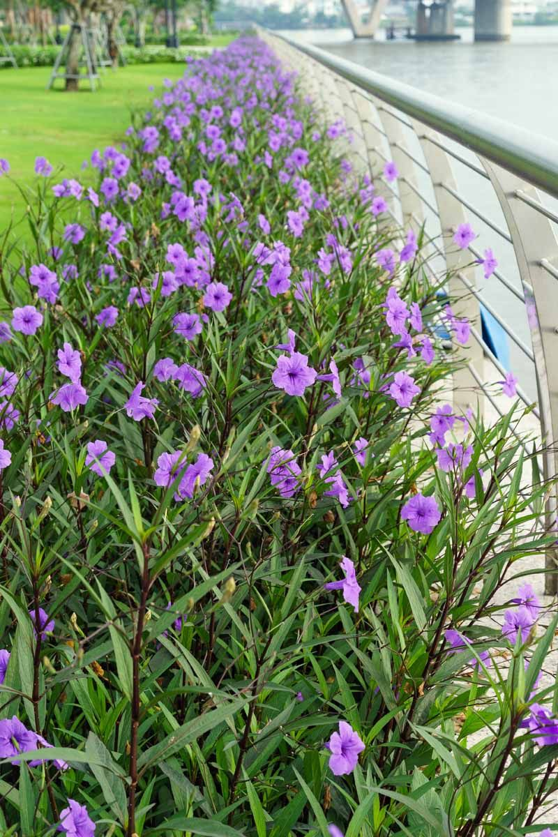 How To Grow And Care For Mexican Petunias Ruellia Simplex With