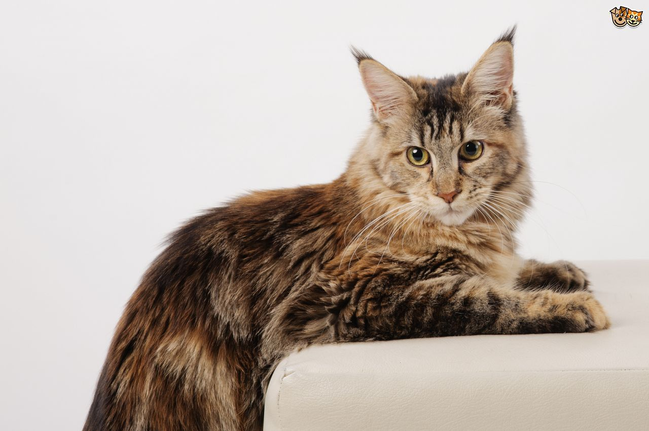 The top 8 largest domestic cat breeds Largest domestic