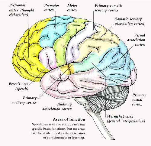 right parietotemporal brain region  Google Search  Psychology