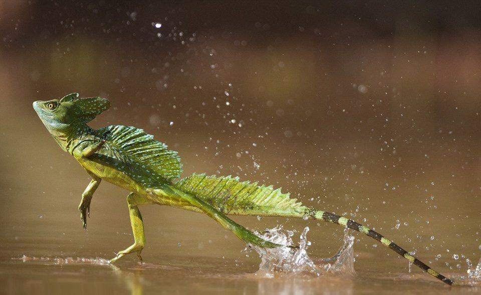 Double-crested Basilisk lizard runs across the water.   Basilisk ...