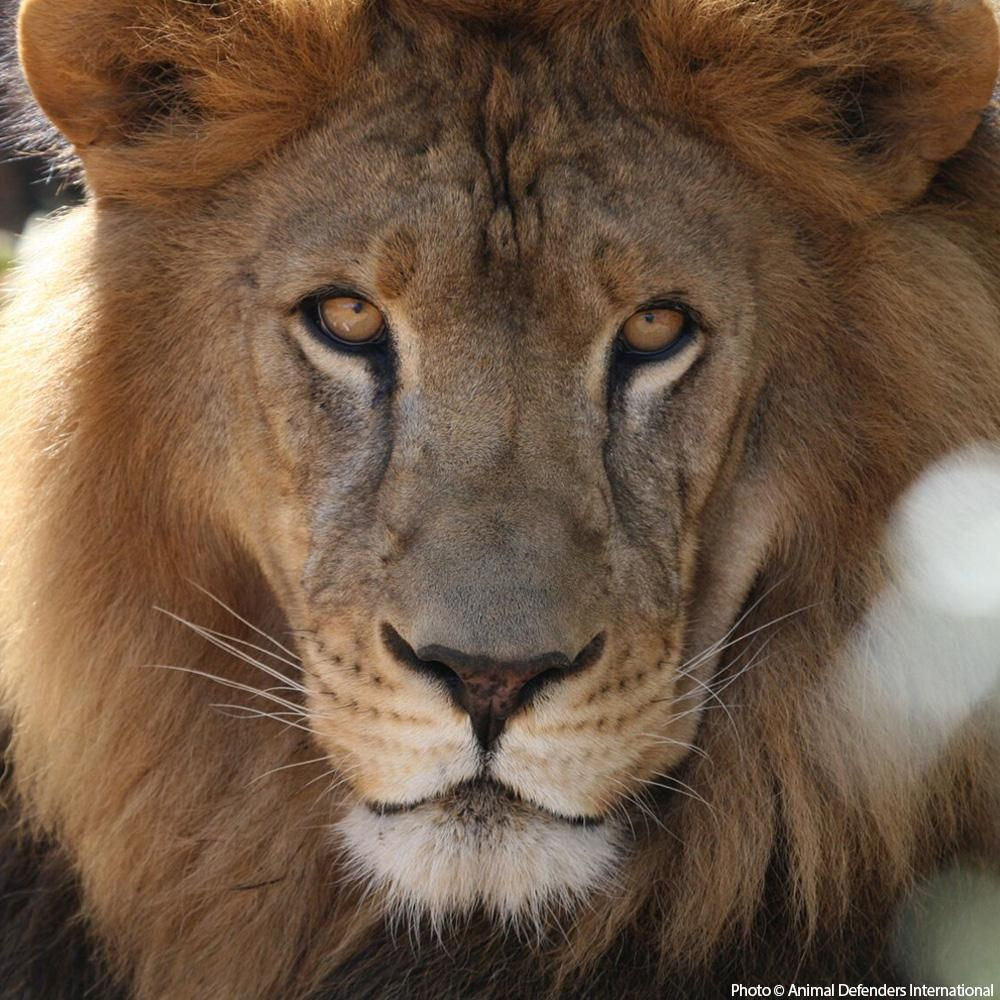 Help Care for Abused Circus Lions Animals, Animal rescue