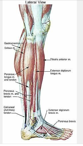 Pin By Kaitlyn Gardea On Anatomy Of Muscles Pinterest Anatomy