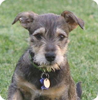 What A Cutie Schnauzer Jack Russell Terrier Mix Puppy Cute Animals I Love Dogs Pets