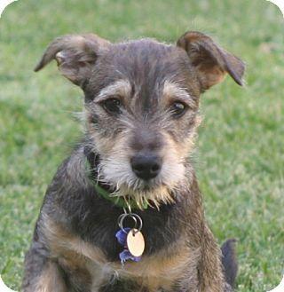 What A Cutie Schnauzer Jack Russell Terrier Mix Puppy Cute