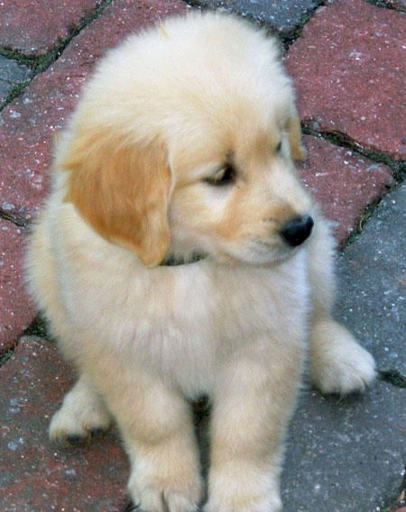 Cute Golden Retriever Puppies Photos With Images Cute Puppies Images Golden Retriever Puppy Photos