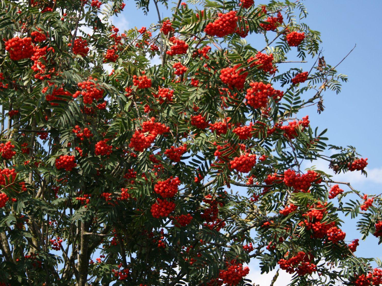 Vogelbeerbaum  Gewhnliche Eberesche  Sorbus aucuparia