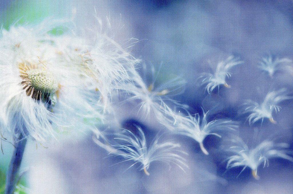 Dandelion - photo by Iienkie   von hazzi tus