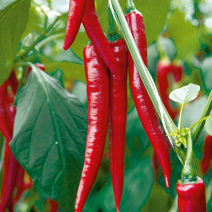 Pepper Chilli Grafted Plants F1 Medina All Vegetable 400 x 300