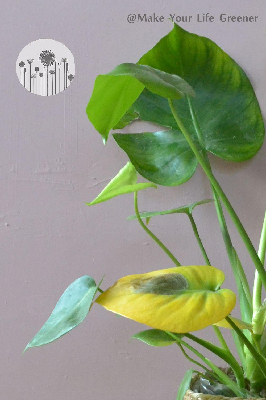 Dlaczego Liscie Monstery Zolkna Pojawiaja Sie Brazowe Plamy Jak Uratowac Przelana Monstere Plants Plant Leaves Garden