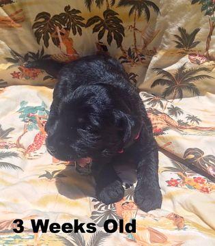 Labradoodle Puppy For Sale In Kaneohe Hi Adn 38782 On Puppyfinder Com Gender Female Age 2 Labradoodle Puppies For Sale Labradoodle Puppy Puppies For Sale