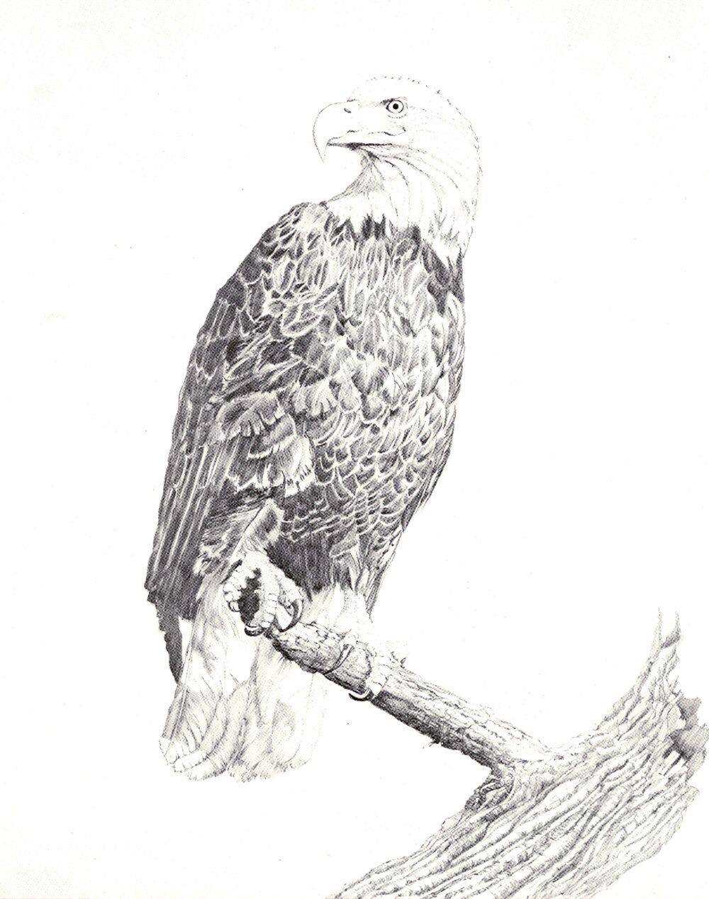 Perched eagle lithographs of original pencil wildlife drawings by giftofthesun on etsy https