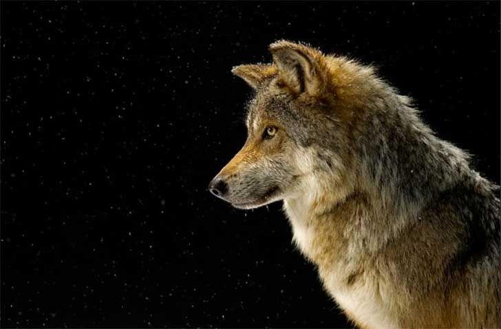 Para Hacernos Reflexionar Ha Hecho Más De 5 000 Retratos De Especies En Peligro De Extinción Lobo Gris Mexicano Lobos Lobo Gris