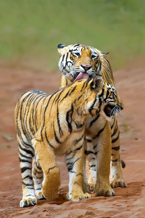 Mother Nature's Animals in 2020 Animals, Pet tiger