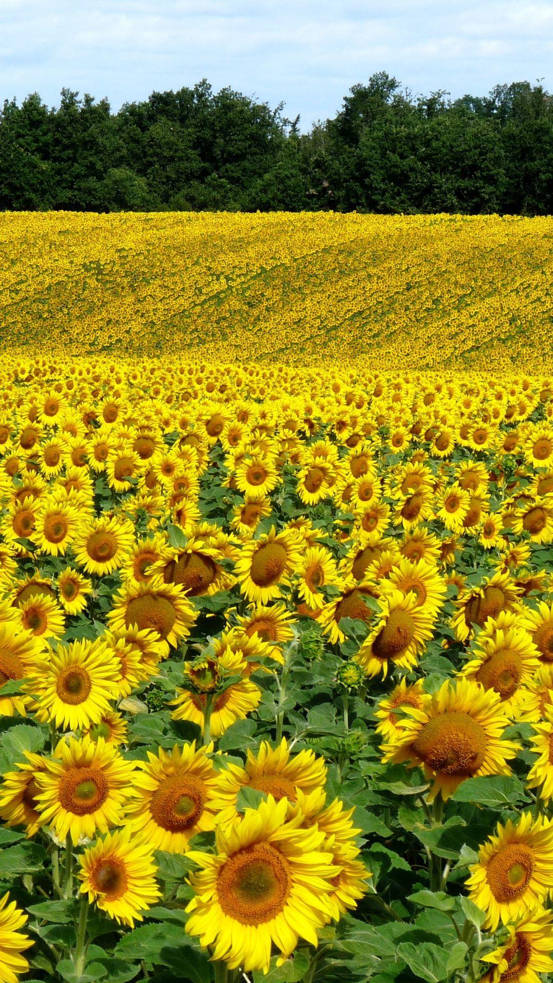 Download Wallpaper 1080x1920 Field, Sunflowers, Landscape, Summer Sony Xperia Z1, ZL, Z, Samsung Galaxy S4, HTC One HD Background