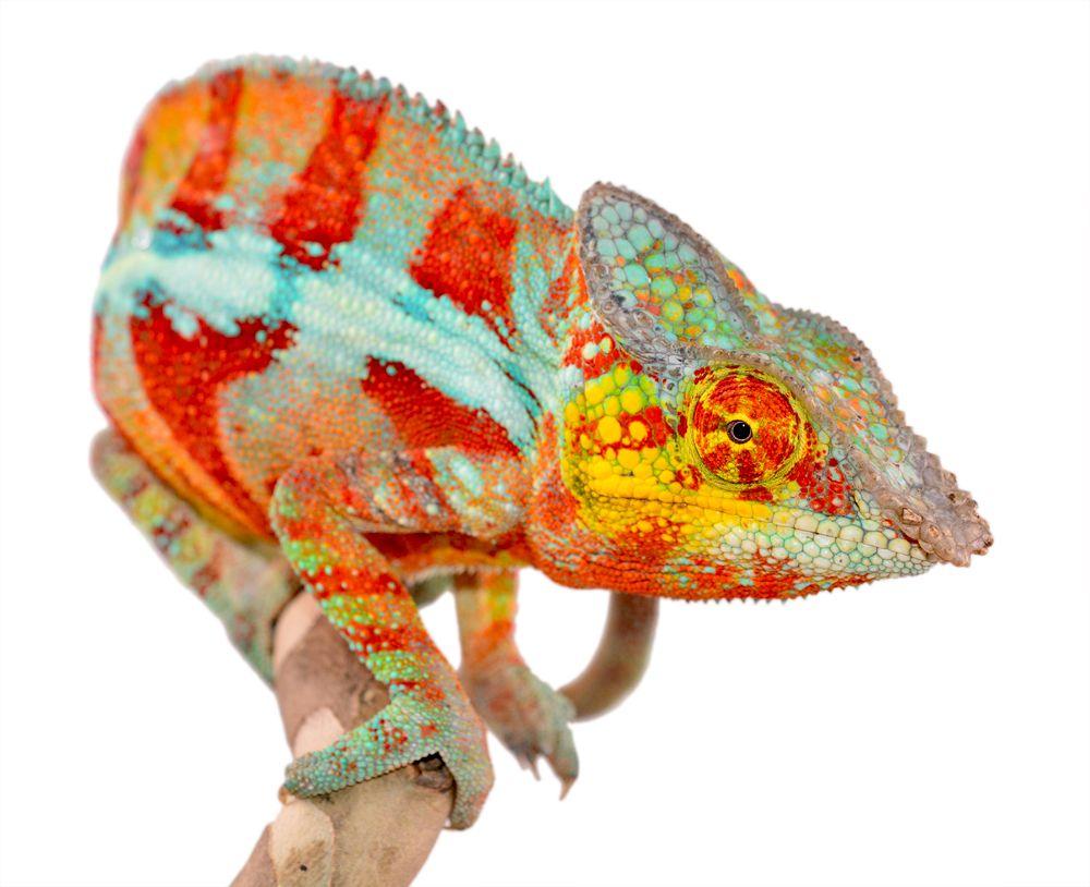 Panther Chameleon - Furcifer Pardalis - Ambanja Local ...