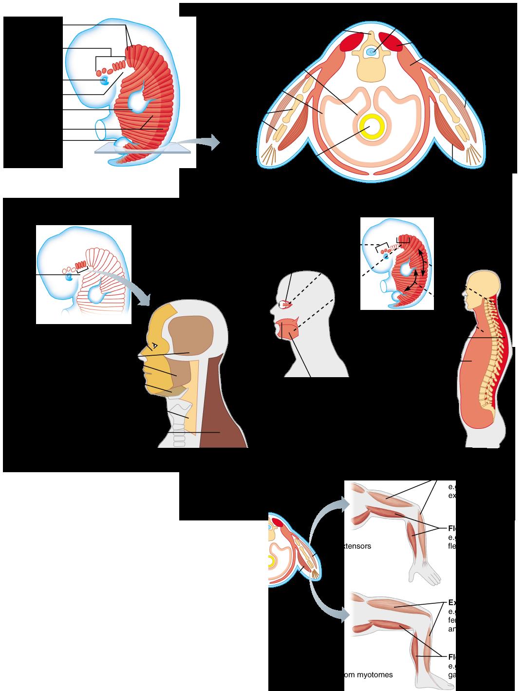 Organizational Scheme Based on Embryonic Development | Anatomy ...
