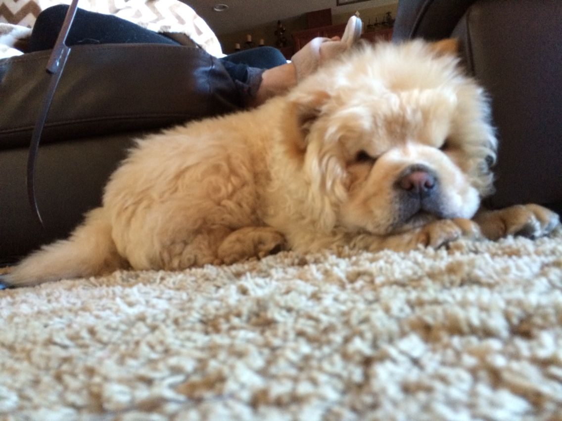 My 12 Week Old Cream Chow Chow Beau Dogs Animals