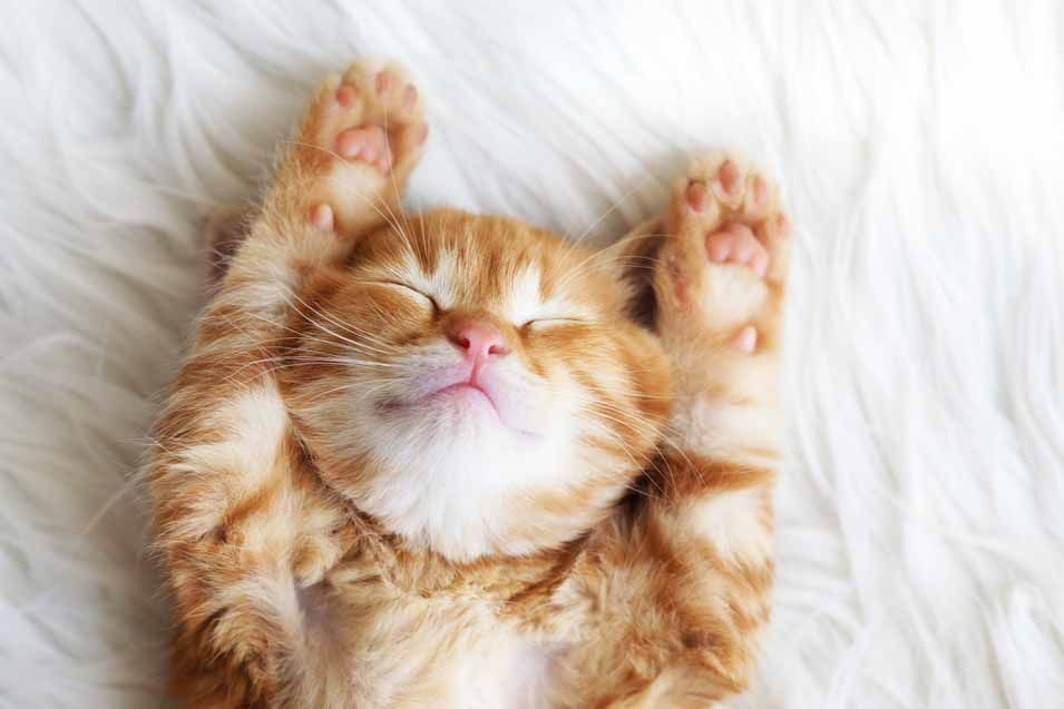 How Long Do Cats Sleep A Day Sleeping Kitten Cats And Kittens Cute Cats