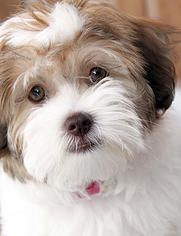 Havanese Angels Havanese Puppies For Sale Havanese Puppies Friendly Dog Breeds