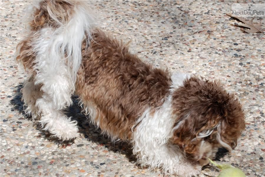 Havanese puppy for sale near Houston, Texas 3b5654d1